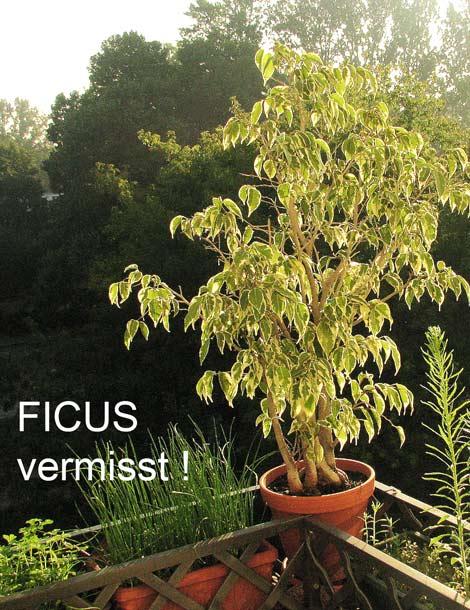 Ficus vermisst